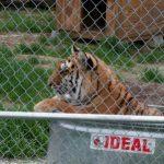 Tigra tiger in her watre tub.