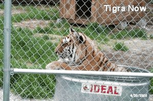 Tigra Tiger After Rescue