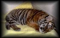 Sleeping Baby Tiger