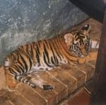 Carmelita Baby Tiger