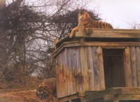 Tiger on top of den.