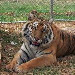 Tigra tiger in temp enclosure.