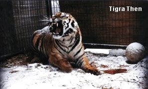 Tigra Tiger Before Rescue