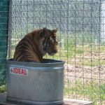 Willie tiger in his water tub.