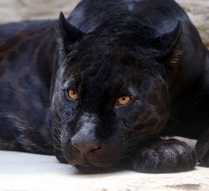 Woman Attacked by Jaguar at Arizona Zoo
