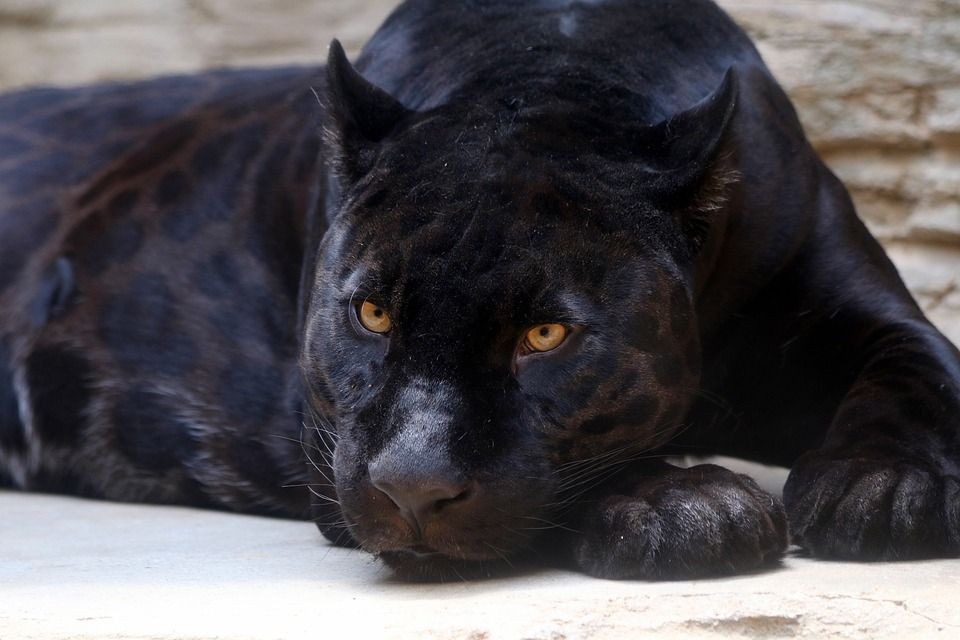 Woman Attacked by Jaguar at Arizona Zoo